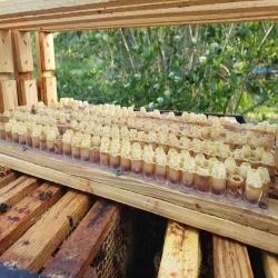 Cześć❗️ Ostatnio często pytacie czy pojawi się mleczko pszczele i kiedy będzie ono dostępne❓ Informujemy, że już niedługo. Jak widzicie na zdjęciach pierwsze ilości już są😊  #mleczkopszczele #ul #pszczoły #hawran #pasiekazpasja #nierozgrzewane #plastermiodu #miód #pszczelemleczko #pszczelarstwo #pasieka