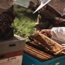 Czy wiedzieliście, że królowa wpływa na charakter całej rodziny pszczelej❓ Jak widzicie na zdjęciu przy ulach można pracować bez rękawiczek, a pszczoły🐝 nie atakują.😊  #ul #pszczoły #pszczoła #pszczelarz #ramkazmiodem #miód #honey #pasieka #apiary #hawran #pasiekazpasją